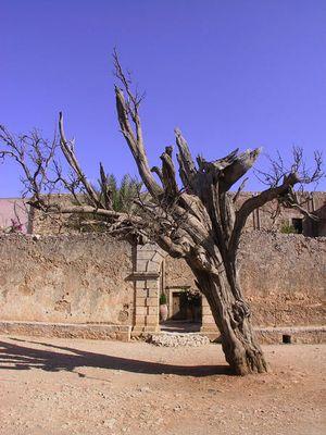 kretischer Baum im Kloster Arkadi auf Kreta