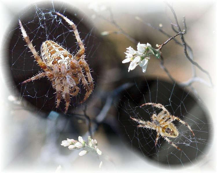 Kreuz - Spinne in Macro.