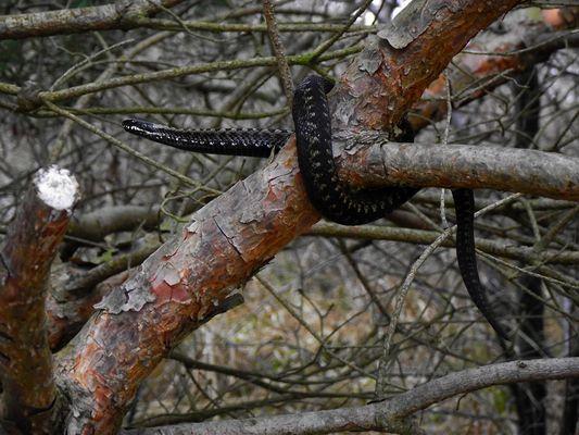 Kreuzotter auf einem Baum?