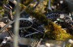 Kreuzotter (Vipera berus) #1