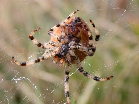 Kreuzspinne bei der Reparatur des Netzes (ca 3,5 cm mit Beinen)