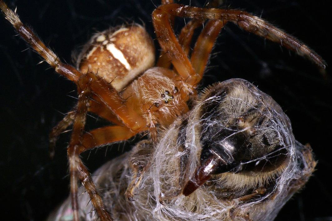 Kreuzspinne mit Biene