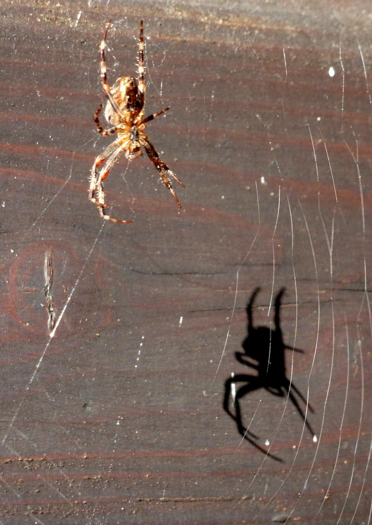 Kreuzspinne und ihr Schatten