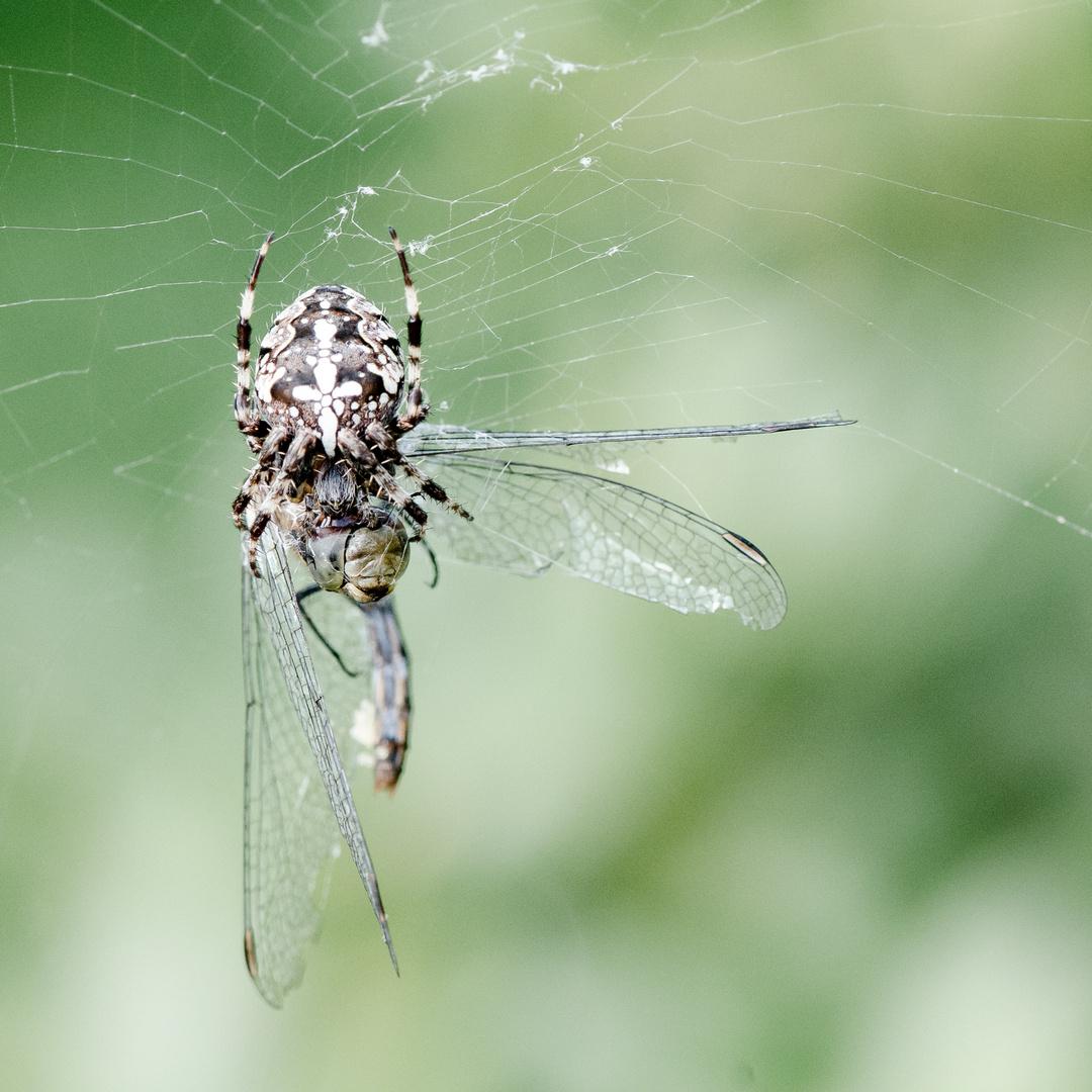 Kreuzspinne VS Libelle