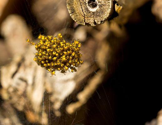 Kreuzspinnen Nachwuchs