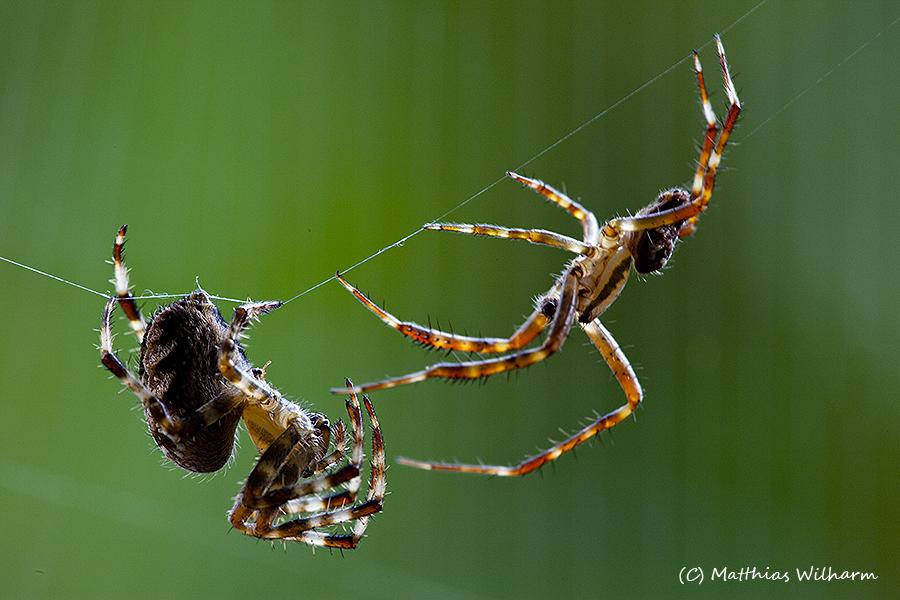 Kreuzspinnenpaar
