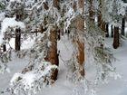 Kristallisierte Nadelbäume