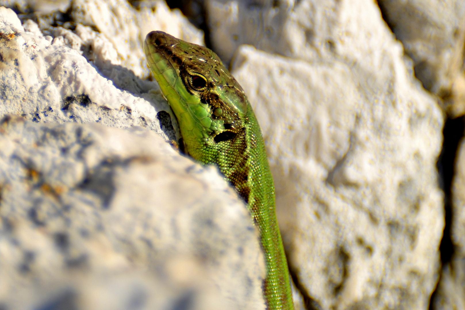 Kroatien - Ruineneidechse