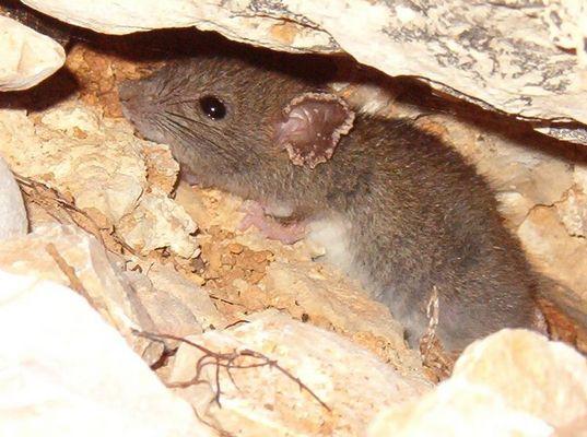 kroatische Maus im Versteck