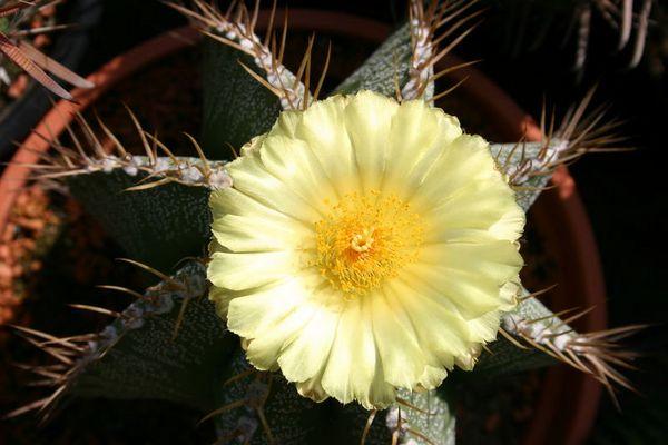 Krönung (Astrophytum mit schöner Blüte)