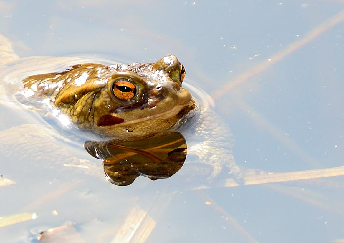 Kröte am Teich