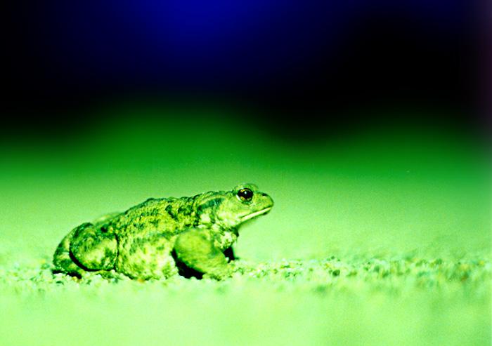 Kröte auf Nachtwanderung