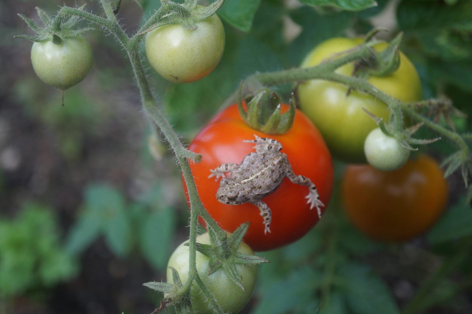 Kröte auf Tomate