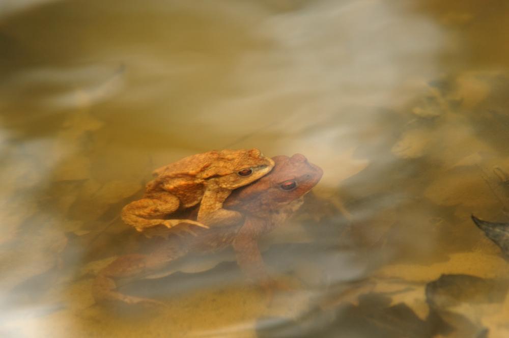 Kröten im Waldsee 4
