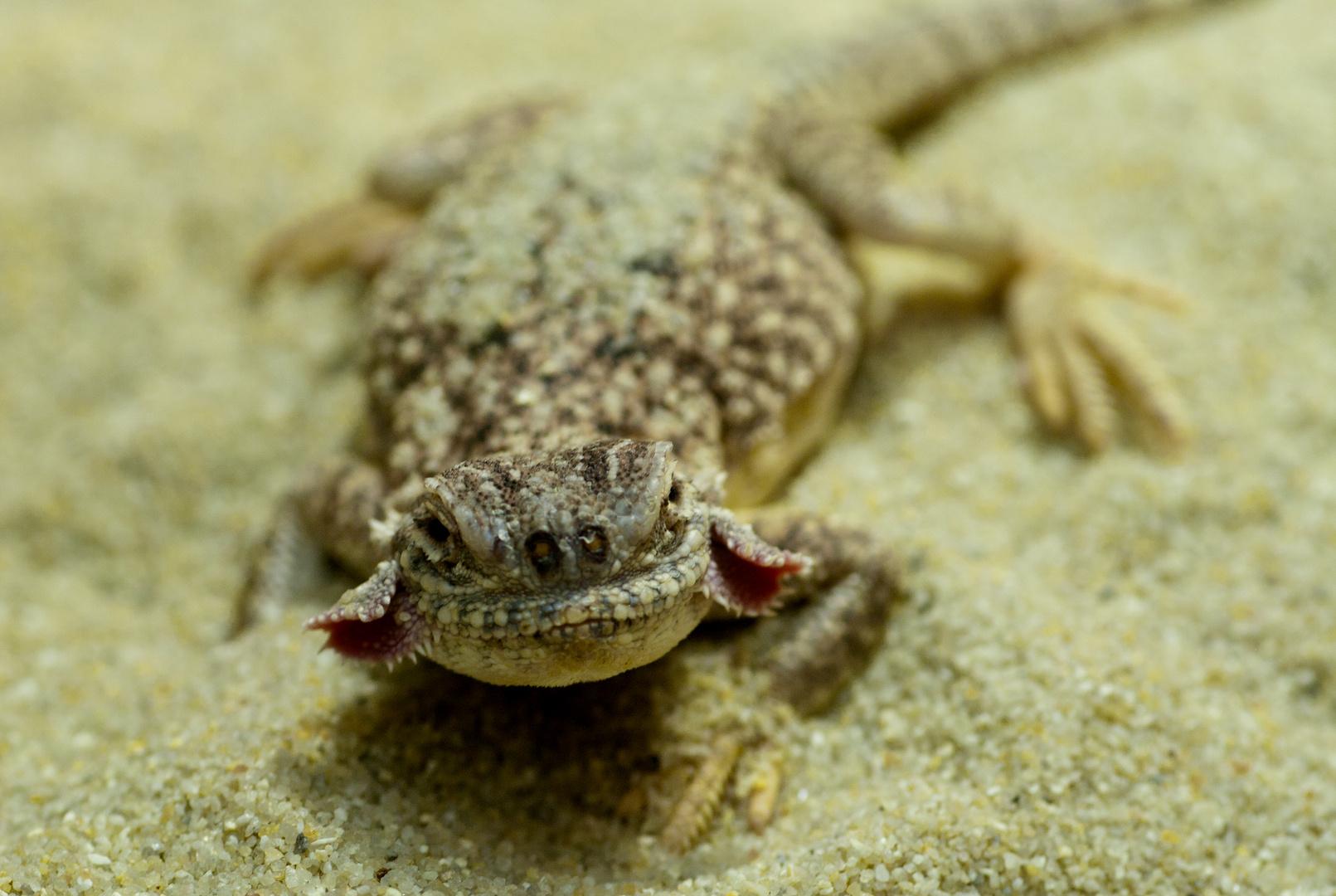 Krötenkopfagame - fotografiert in der Reptilienausstellung