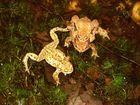 Krötenpaar und einzelnes Männchen