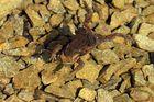 Krötenpaarung im Wasser