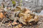Krötenpaarung: wie viele Kröten sind auf dem Bild?