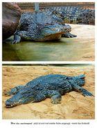 Krokodil - ach ist jede Bewegung anstrengend -