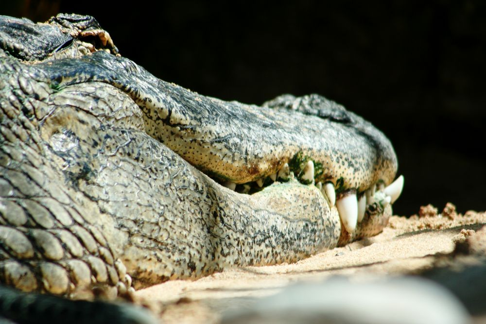 Krokodil auf der Lauer