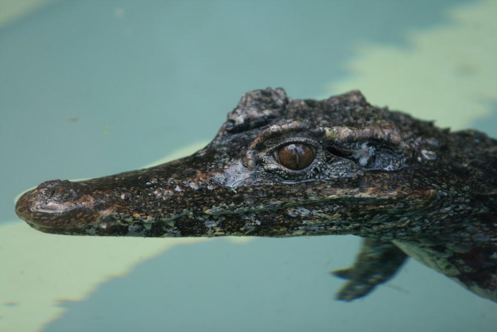 Krokodil aus dem Zoo