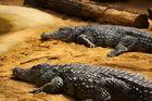 Krokodil.....
