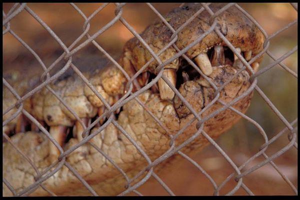 Krokodil, Broome WA, Australien 02