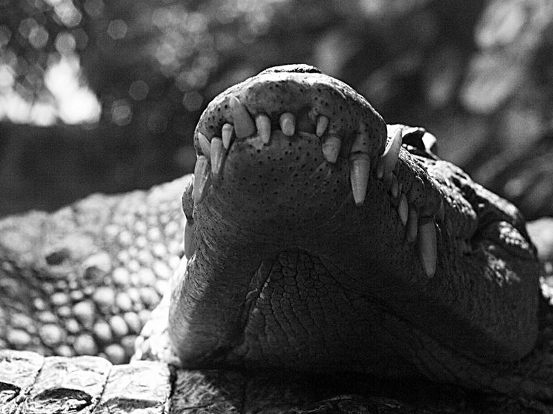 Krokodil BW