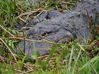 Krokodil Florida