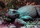 Krokodil im Blutbad....... ?