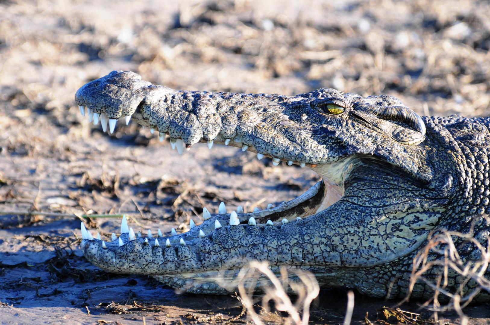 Krokodil im Chobe River