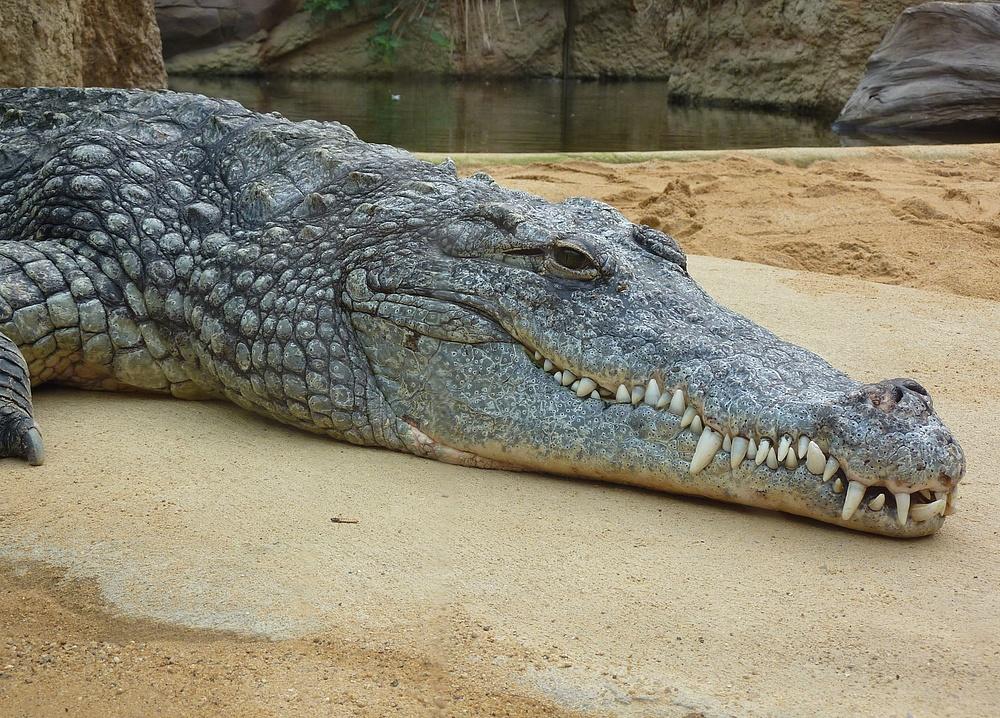 Krokodil im Kölner Zoo (Hippodom)