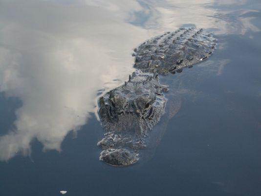Krokodil in Miami