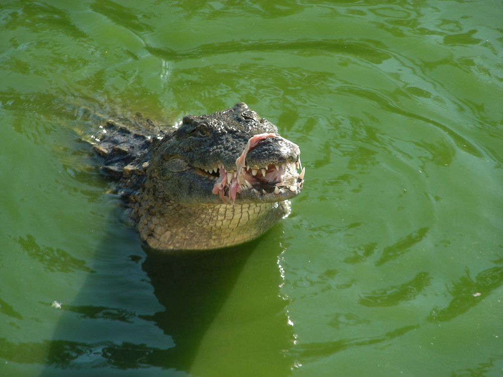 Krokodil mit Maulsperre