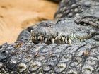 Krokodil Nahaufnahme
