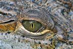 Krokodil ohne Träne