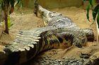 Krokodil1