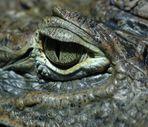 Krokodilbild - Das Auge........ des Krokodils