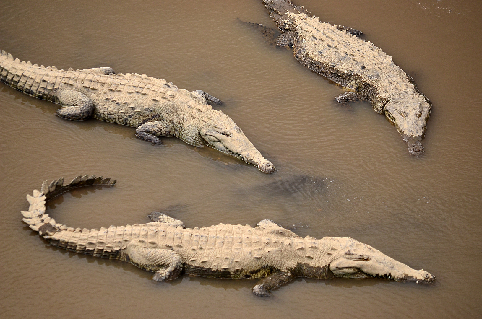 Krokodile am Rio Tarcoles