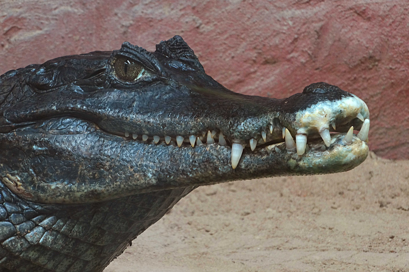 Krokodilkaiman (3) Neuwieder Zoo