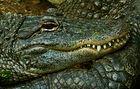 Krokodilprofil