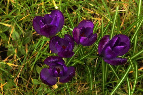 Krokus Blüten III