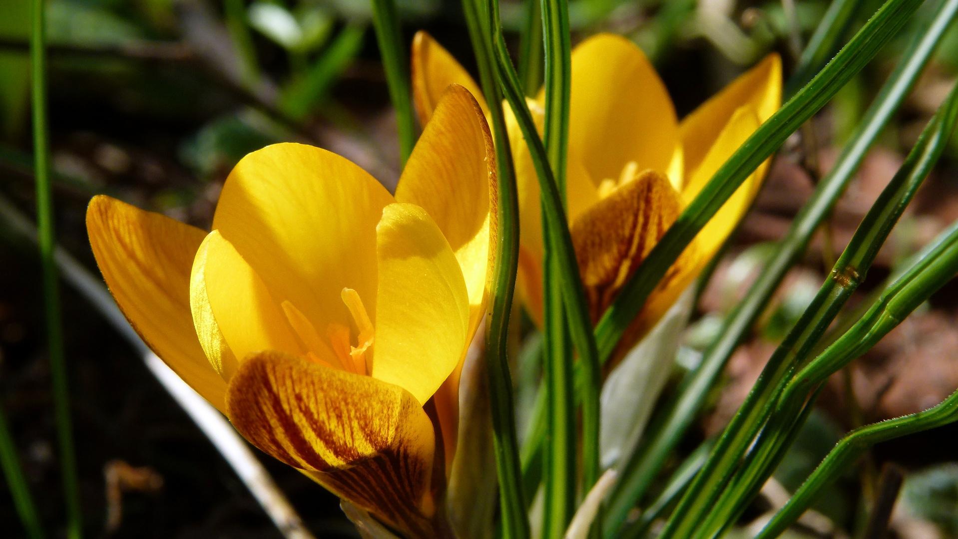 Krokus, der erste Frühlingsbote 4