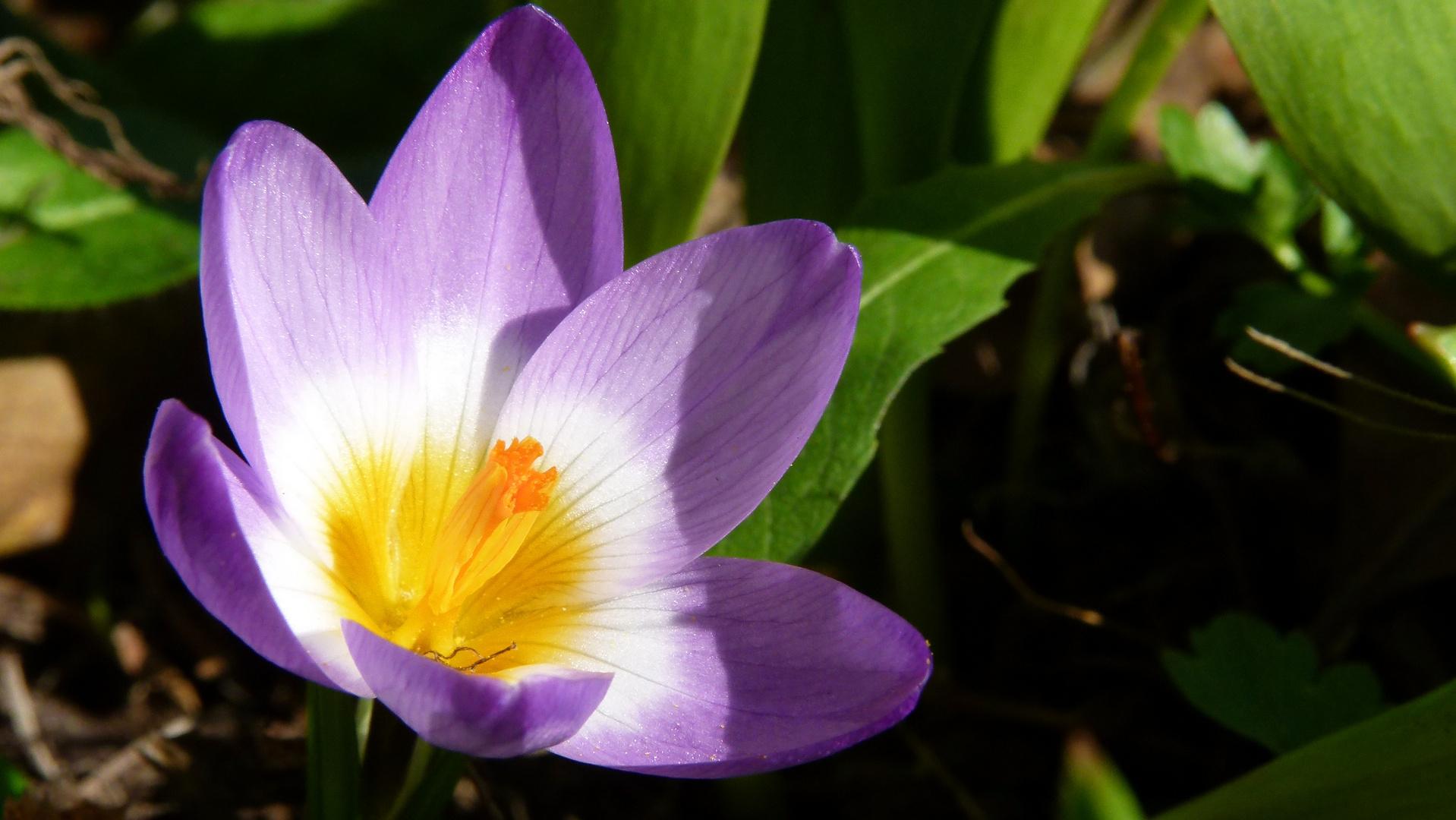 Krokus, der erste Frühlingsbote 6