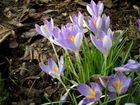 Krokus in der Frühlingssonne