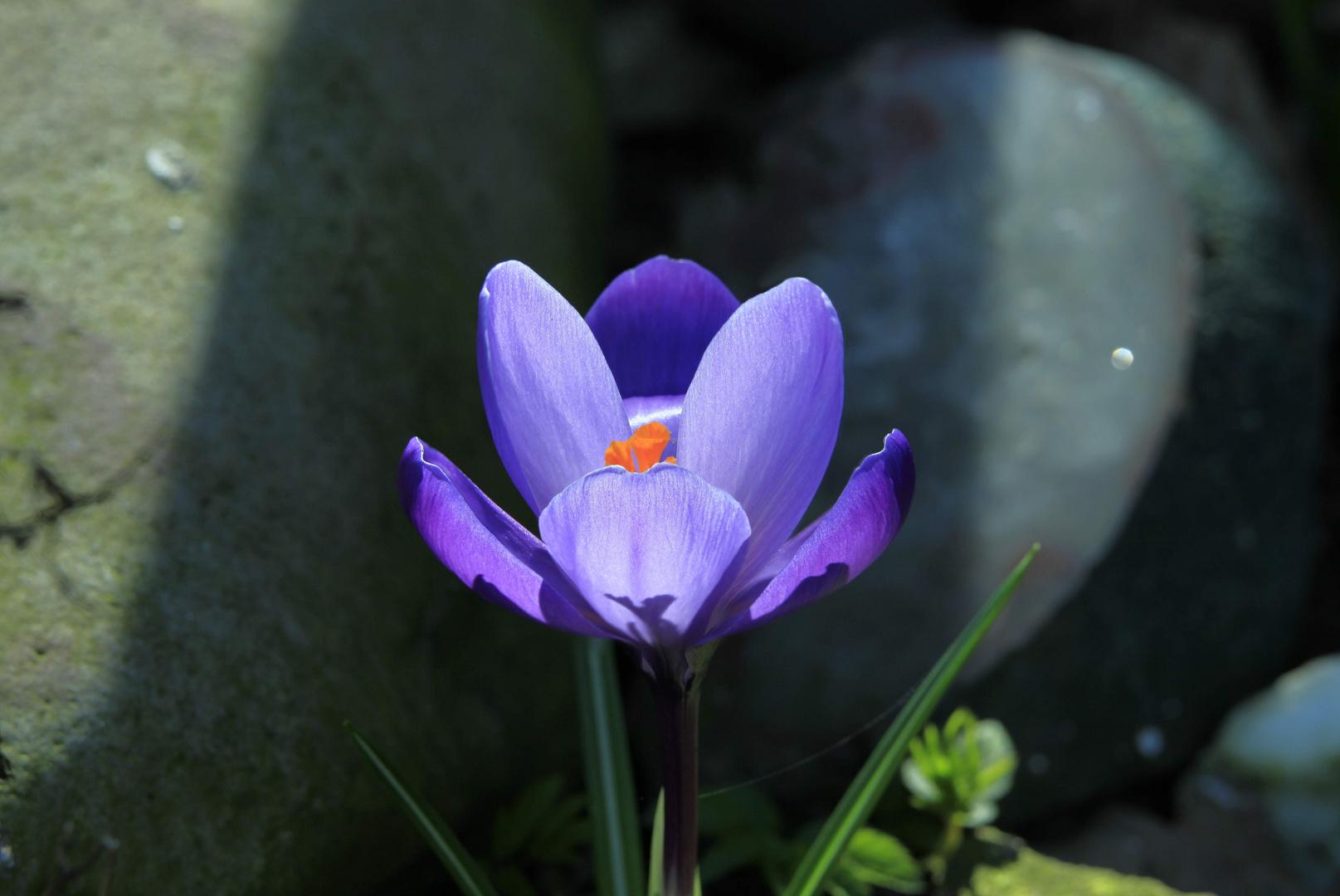 Krokus in unserem Garten