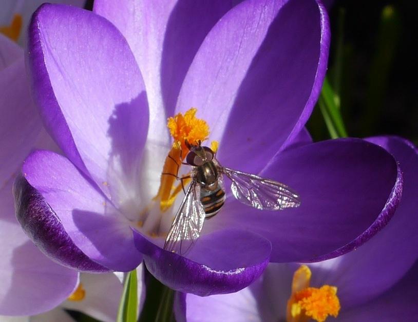Krokus mit Fliege