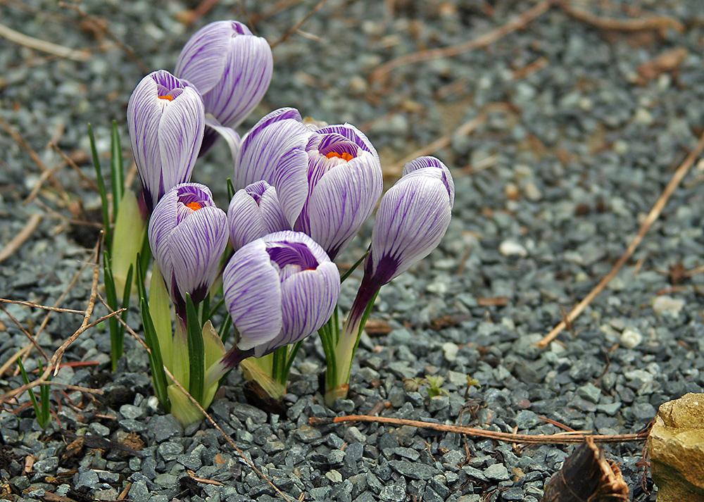 Krokus   Violett/weiß