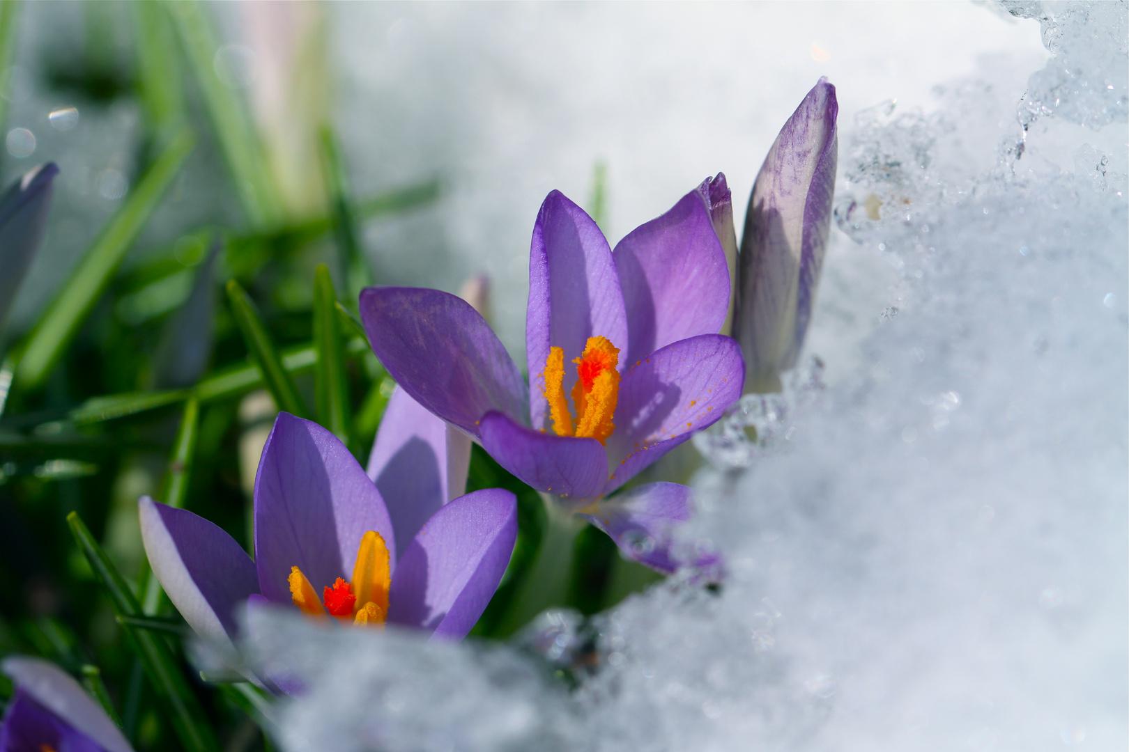 Krokus_Blumen im Schnee2