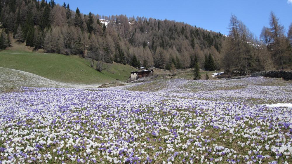 Krokuse in Heilig Geist ( Südtirol)